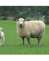 Grillage à moutons galvanisé Ht 2m00