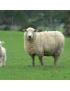 Grillage noué galvanisé (moutons, chevaux..)
